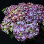 Гортензия Hydrangea Green Lips Purple